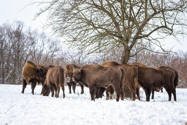 Stado żubrów Stojących W Lesie W Okresie Zimowym Premium Zdjęcia