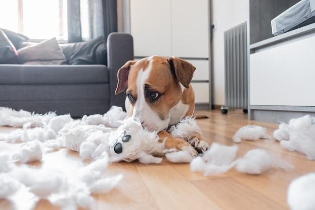 Staffordshire Terrier Leży Wśród Rozdartej Puszystej Zabawki O śmiesznym Wyrzutach Sumienia Premium Zdjęcia