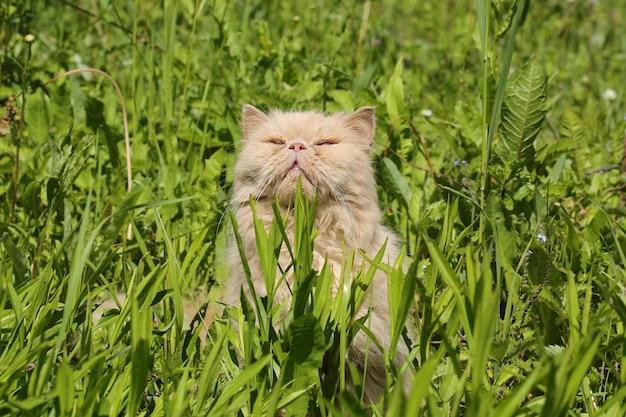 Stary Perski Kot Wygrzewa Się W Słońcu W Lato Trawie Premium Zdjęcia