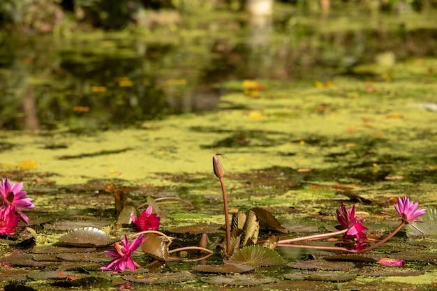 Staw Z Płatkami Lilii. Ważka Siedzi Na Lilii Wodnej. Centrum Mokradeł W Rezerwacie Sungei Buloh Wetland Reserve. Premium Zdjęcia