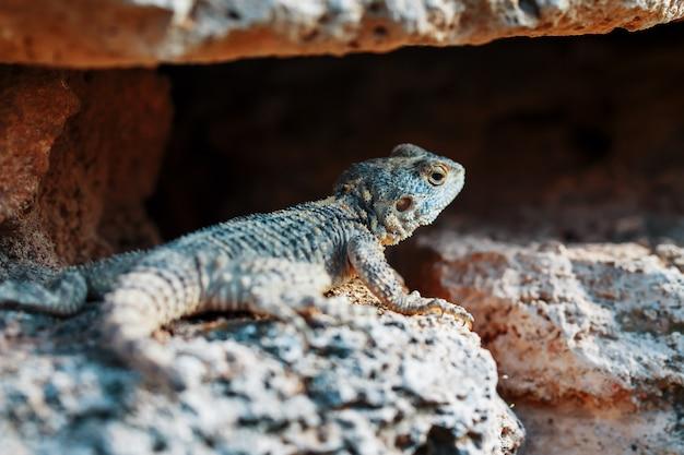 Stellion lub agama-gardun to gatunek jaszczurek agamidae z monotypowego rodzaju stellagama. Premium Zdjęcia