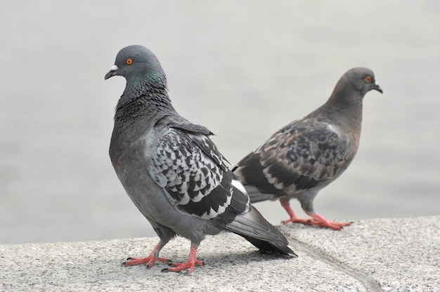 Stoją Dwa Gołębie Miejskie Premium Zdjęcia