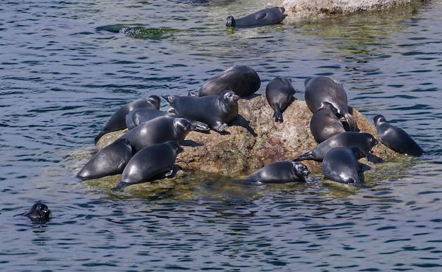 Strąki Fok Szarych Atlantyckich Wyciągnięte Na Skały Na Wyspach Farne Na Wybrzeżu Northumberland. Premium Zdjęcia