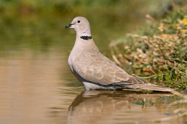 Streptopelia Decaocto Pije W Wodzie Pont Latem, Ptaki, Gołębie, Collared Dove, Turtur Premium Zdjęcia