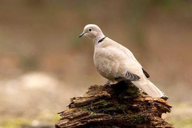 Streptopelia Decaocto, Ptaki, Gołębie, Collared Dove, Turtur Premium Zdjęcia