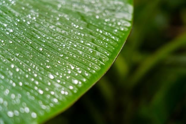 Streszczenie Tło Naturalne Paski, Szczegóły Liści Bananowych Z Kropli Deszczu I Niewyraźne Bokeh Na Tle Premium Zdjęcia