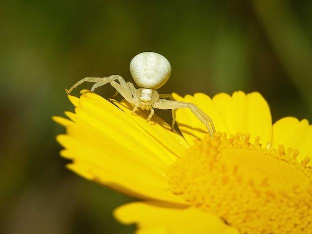 Strzał Zbliżenie Biały Pająk Krab Nawłoci Na żółty Kwiat Darmowe Zdjęcia