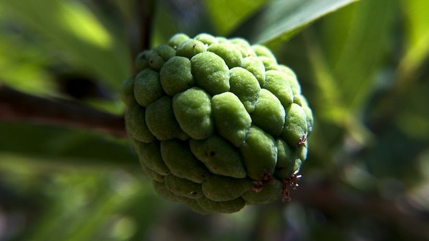 Strzał Zbliżenie Budyń Jabłko Rosnące Na Drzewie Darmowe Zdjęcia