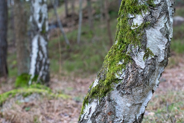 Strzał Zbliżenie Drzewa Pokryte Mchem Na Niewyraźne Tło Darmowe Zdjęcia