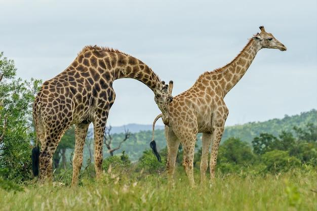 Strzał Zbliżenie Dwie żyrafy Spaceru W Zielonym Polu W Ciągu Dnia Darmowe Zdjęcia