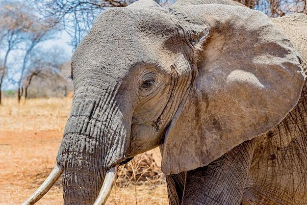 Strzał Zbliżenie Głowy ładny Słonia Na Pustyni Darmowe Zdjęcia