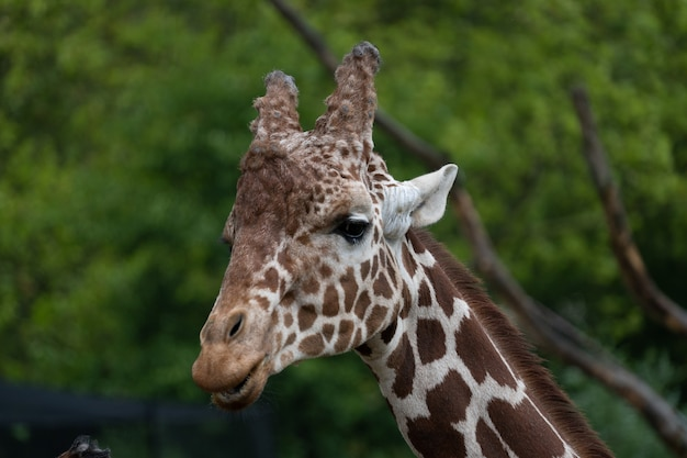Strzał Zbliżenie Głowy żyrafa Stojąca Za Drzewami Darmowe Zdjęcia