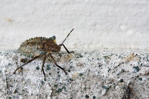 Strzał Zbliżenie Heteroptera Na ścianie Darmowe Zdjęcia