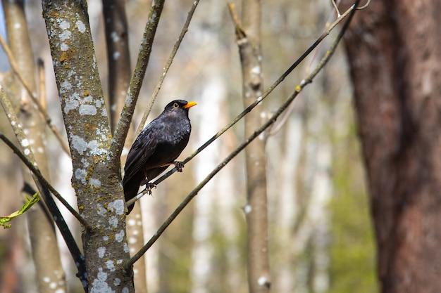 Strzał Zbliżenie Kos Siedzący Na Gałęzi Drzewa Z Rozmytym Tłem Darmowe Zdjęcia