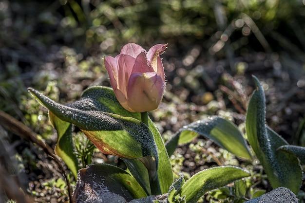 Strzał Zbliżenie Kwiat Tulipan Piękny Różowy Sprenger W Ogrodzie Darmowe Zdjęcia