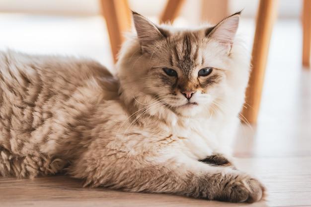 Strzał Zbliżenie ładny Kot Leżący Na Drewnianej Podłodze Z Dumnym Wyglądem Darmowe Zdjęcia
