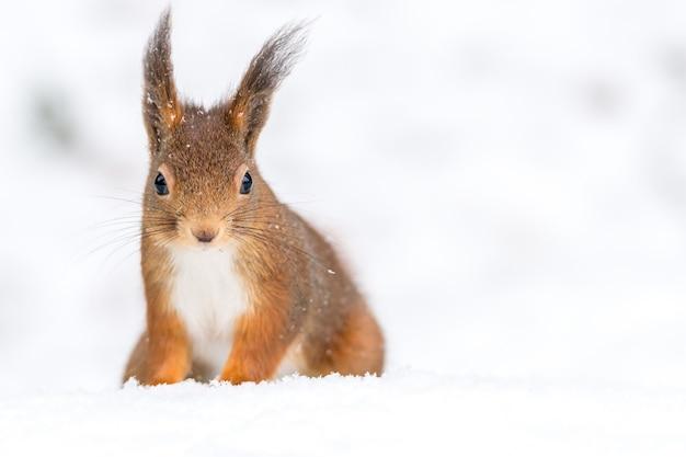Strzał Zbliżenie ładny Mały Wiewiórka Na Zaśnieżonej Ziemi Z Niewyraźnym Tłem Darmowe Zdjęcia