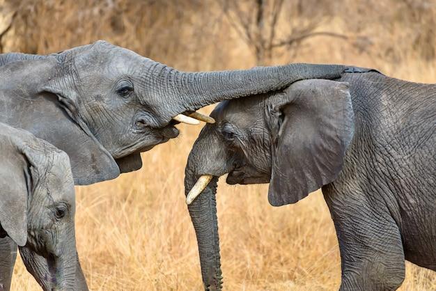 Strzał Zbliżenie ładny Słonia Dotykając Innych Z Tułowia Darmowe Zdjęcia