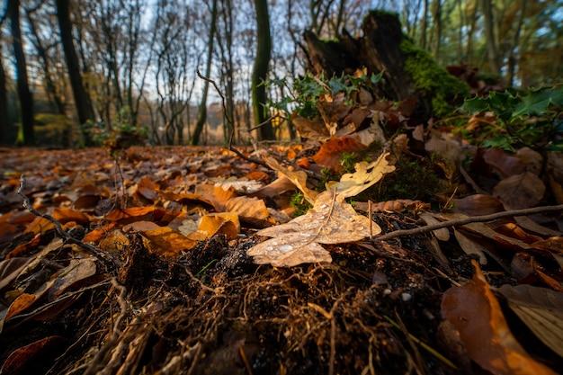 Strzał Zbliżenie Opadłych Liści Dębu Na Dnie Lasu Jesienią Darmowe Zdjęcia