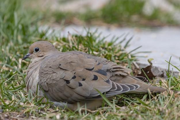 Strzał Zbliżenie Piękną Gołębicę żałobną Odpoczynku Na Trawie Darmowe Zdjęcia
