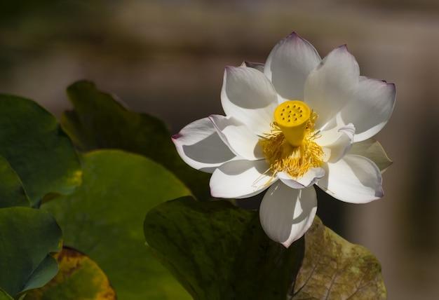 Strzał Zbliżenie Pięknego Białego świętego Lotosu Darmowe Zdjęcia