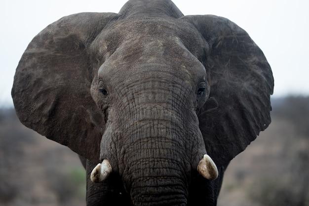 Strzał Zbliżenie Pięknego Słonia Afrykańskiego Darmowe Zdjęcia