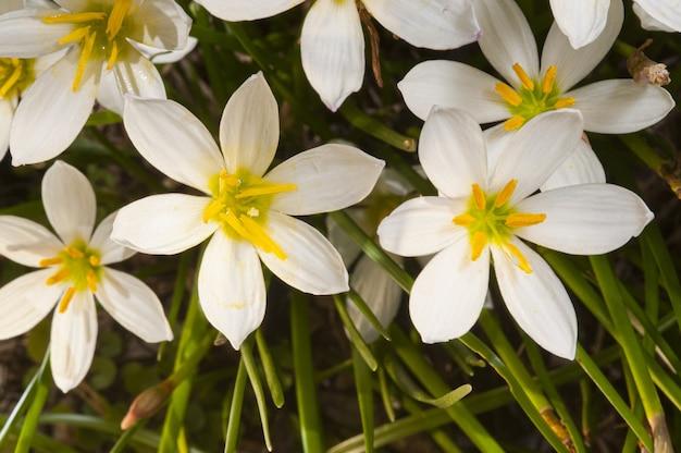 Strzał Zbliżenie Pięknych Kwitnących Lilii Deszczowych - Idealny Do Artykułu O Botanice Darmowe Zdjęcia
