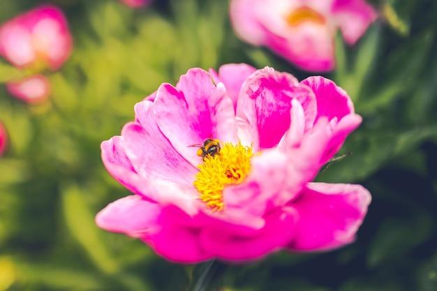 Strzał Zbliżenie Pszczoła Na Purpurowy Kwiat Piwonii Wspólnej Darmowe Zdjęcia