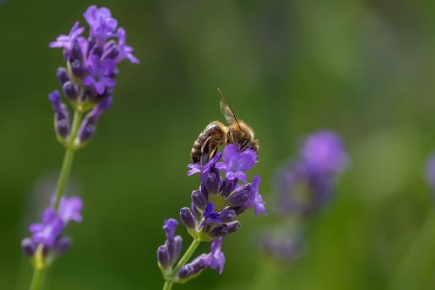 Strzał Zbliżenie Pszczoły Siedzącej Na Fioletowym Lawendy Angielskiej Darmowe Zdjęcia