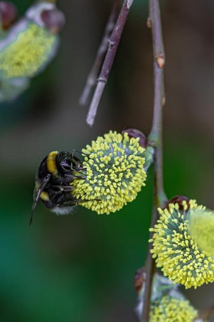 Strzał Zbliżenie Pszczoły Siedzącej Na żółty Kwiat Darmowe Zdjęcia