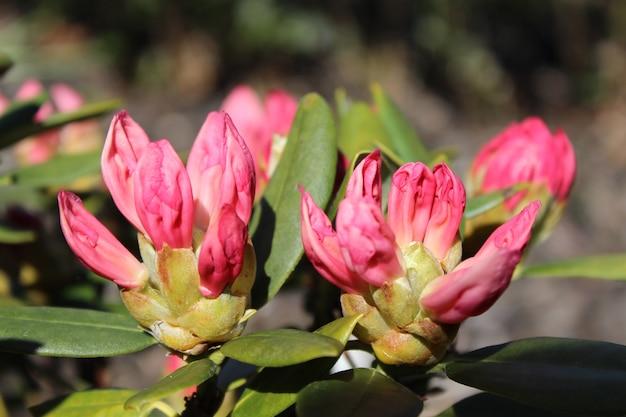 Strzał Zbliżenie Różowy Kwiat Rododendronów W Ogrodzie W Słoneczny Dzień Darmowe Zdjęcia