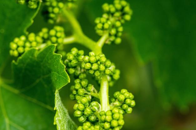 Strzał Zbliżenie świeżych Zielonych Liści Winogron Na Niewyraźne Tło Darmowe Zdjęcia