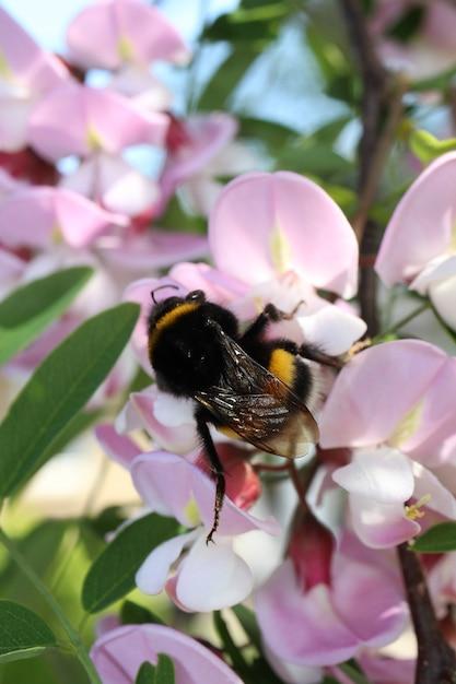 Strzał Zbliżenie Trzmiel Zbierający Pyłek Na Kwiat Akacji Darmowe Zdjęcia