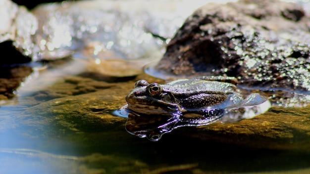 Strzał Zbliżenie żaba W Stawie W Pobliżu Kamieni Darmowe Zdjęcia