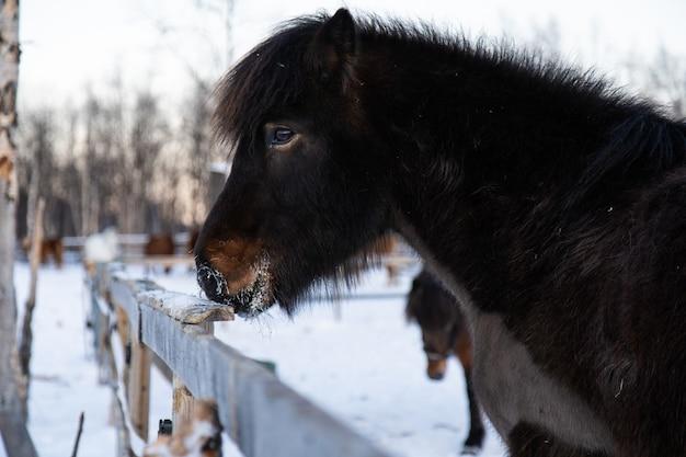 Strzał Zbliżenie Zwierzę Hodowlane Na Spacer Po Zaśnieżonej Wsi W Północnej Szwecji Darmowe Zdjęcia