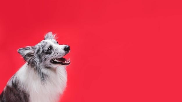 Studio strzał śliczny border collie pies Darmowe Zdjęcia