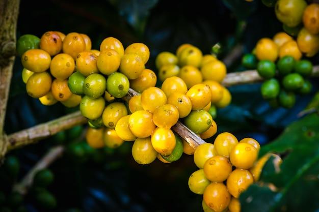 Surowe kawowe fasole i liście w podeszczowym sezonie przy rolniczego terenu chiang raja thailand Premium Zdjęcia