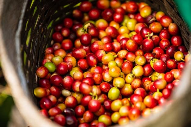 Surowe ziarna kawy w rolniku kosz Premium Zdjęcia