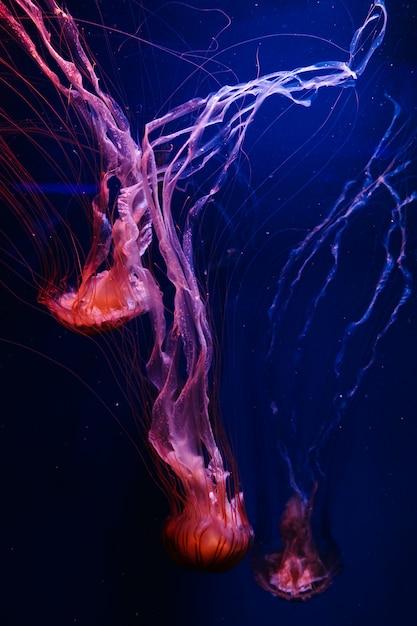 Świecąca Pomarańczowa Meduza Chrysaora Pacifica Na Głębokim Fantomowym Błękicie Premium Zdjęcia