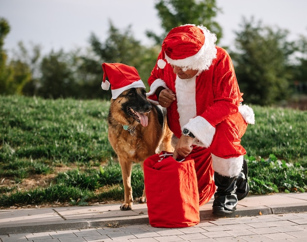 Święty Mikołaj Bez Brody Bawi Się Z Owczarkiem Niemieckim, Który Wyciąga Go Z Torby Z Prezentami. Czas świąt Premium Zdjęcia