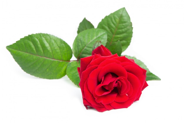 Świeża Czerwona Róża. Premium Zdjęcia
