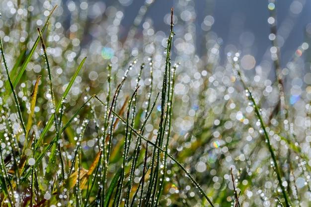 Świeża trawa z kroplami rosy z bliska Premium Zdjęcia