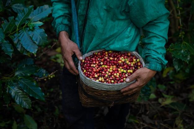 Świeże surowe kawowe fasole od rolniczej ziemi uprawnej w rolnika koszu Premium Zdjęcia