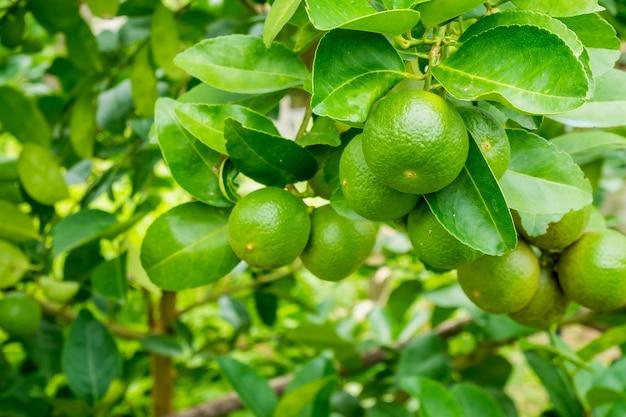 Świeże Zielone Limonki Cytrynowe Na Drzewie W Organicznym Ogrodzie Premium Zdjęcia