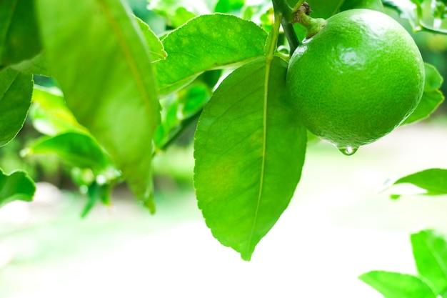 Świeże Zielone Limonki Surowa Cytryna Wiszące Na Drzewie Z Kropli Wody W Ogrodzie, Uprawa Limonki Premium Zdjęcia