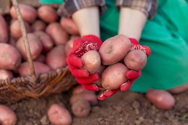 Świeżo ziemniaki w rękach kobiety. zbiór ziemniaków z ziemi w koszu. Premium Zdjęcia