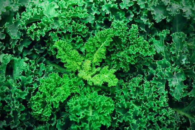 Świeży Kapusta Organiczna. Zielona, Zdrowa Koncepcja Jedzenia, Wegetariańskie Jedzenie. Skopiuj Miejsce Premium Zdjęcia