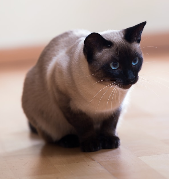 Syjamski Kot Na Drewnianej Podłoga Premium Zdjęcia