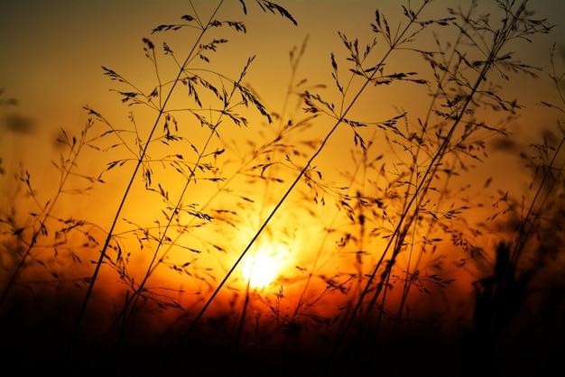 Sylwetka trawa przeciw złotemu zmierzchowi Premium Zdjęcia