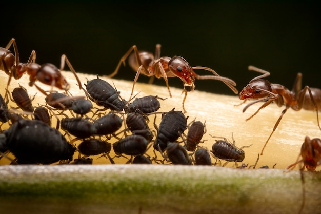 Symbiotyczny Związek Mrówek Z Czarnymi Mszycami, Fotografia Ultra Makro Premium Zdjęcia